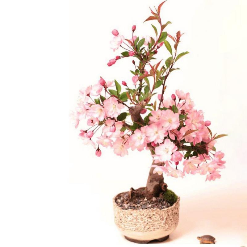 Cherry Blossom Seed Fragrant Japanese Sakura Tree Indoor