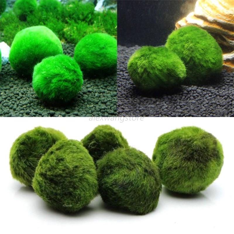 Image Is Loading 3 5cm Aquarium Marimo Live Moss Balls Algae