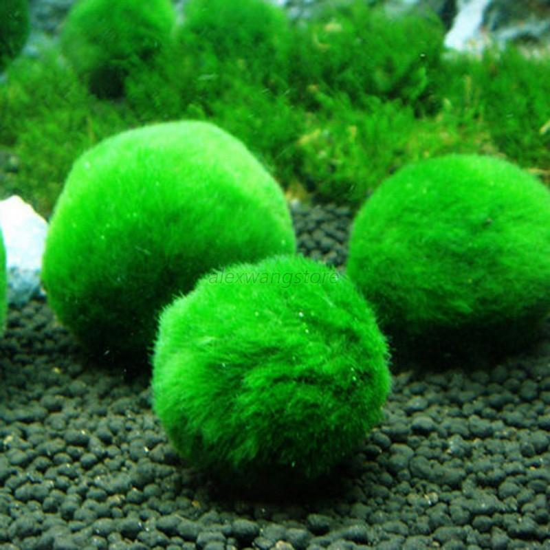 4040cm Aquarium Marimo Live Moss Balls Algae Fish Tank Ornaments Extraordinary Decorative Moss Balls Uk