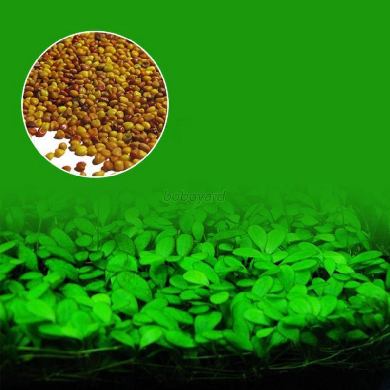 Fisch panzer aquarium vordergrund pflanze saat wasser gras for Dekor und garten w schirrle