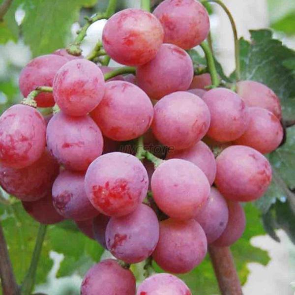Good 20x Grape Seeds Vitis Vinifera Delicious Fresh Fruit Bulk